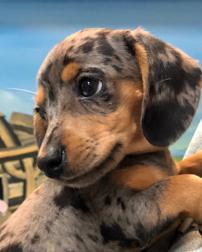 Cutest little dachshund in the world.